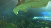 biodiversidade : A sawtooth shark swims with tropical fish Stock Footage