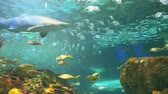 biodiversidade : Colorful schools of tropical fish with sharks cruising through Stock Footage