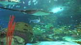 biodiversidade : A large Manta Ray crosses with sharks Stock Footage