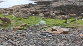 shale : View of North Ronaldsay Sheep in Orkney