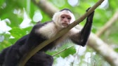 telephoto lens : Wild White-faced Capuchin (Cebus capucinus) relaxs and grooms Stock Footage
