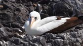 zvědavost : Nazca Booby, Sula granti, from the Galapagos