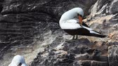 animal egg : The Nazca Booby, Sula granti, from the Galapagos Stock Footage