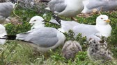 pintos : Two young Ring-billed Gull with adults Vídeos