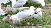 animal egg : Two Ring-billed Gull chicks with adults