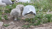 pintos : Ring-billed Gull chicks with parent