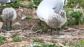 animal egg : Pair of Ring-billed Gull chicks with adult