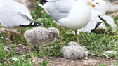 pintos : Two Ring-billed Gull young with adults