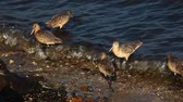 korumalı : Marbled Godwits search for food