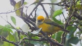 avian : Silver-throated Tanager in the fog