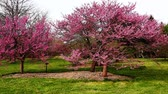 blossoming : Trees filled with colorful spring apple blossoms