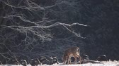 копытное : White-tailed Deer and Wild Turkey feeding in the winter