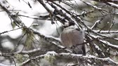 nie : Gray Jay, Perisoreus canadensis, as snow falls in Algonquin in Ontario Wideo