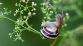 caracol : Snail moving along a tiny flowered plant