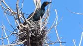 davranış : Double Crested Cormorant, Phalacrocorax auritus on nest
