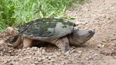 lefektetés : Common Snapping Turtle, Chelydra serpentina, laying eggs Stock mozgókép