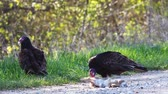 olhos castanhos : Turkey Vulture, Cathartes aura, feeding Stock Footage