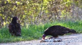 olhos castanhos : Pair of Turkey Vulture, Cathartes aura, feeding