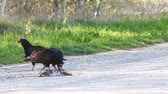 olhos castanhos : Pair of Turkey Vulture, Cathartes aura, with prey