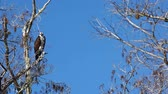 olhos castanhos : Osprey, Pandion haliaetus, perched in tree in the Everglades Stock Footage