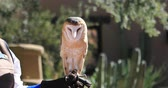 сарай : 4K UltraHD Captive female Barn Owl, Tyto alba