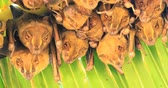 kostarika : Tent-making Bats, Uroderma bilobatum, roosting under a large leaf 4K