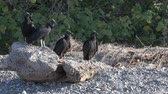 Group of Black Vultures, Coragyps atratus, loafing on beach