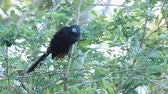 счета : Groove-billed Ani, Crotophaga sulcirostris, from Costa Rica