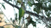 madármegfigzelés : Red-lored Parrot, Amazona autumnalis, from Costa Rica Stock mozgókép