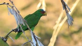 White-Fronted Parrot, Amazona albifrons, from Costa Rica