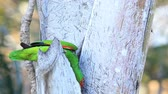 américa central : View of White-Fronted Parrot, Amazona albifrons, from Costa Rica Stock Footage