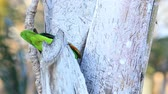 View White-Fronted Parrot, Amazona albifrons, from Costa Rica