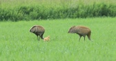 grus : Pair of Sandhill Cranes, Grus canadensis, with chick 4K