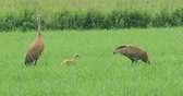 grus : Pair of Sandhill Cranes, Grus canadensis, feeding with chick 4K Stock Footage