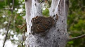 destructive : Eastern Tent Caterpillar, Malacosoma americanum, hatch