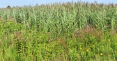 perennial : Invasive species, Invasive Phragmites or European Reed, australis australis 4K
