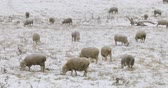 pastvisko : Cinemagraph, Looped, Flock of sheep feeding in field in snow
