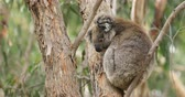 eukaliptus : Koala, Phascolarctos cinereus, in a tree 4K