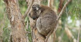 eukaliptus : Koala, Phascolarctos cinereus, on a tree 4K