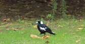 poleiro : Australian Magpie, Cracticus tibicen, on ground 4K