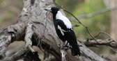 perch : Australian Magpie, Cracticus tibicen, perched 4K
