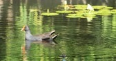 plumas : Dusky Moorhen, Gallinula tenebrosa, on pond 4K Archivo de Video