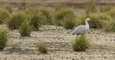 kanguru : Cape Barren Goose pair, Cereopsis novaehollandiae 4K Stok Video