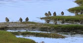 patos : Grey Teal, Anas gracilis, relajante 4K Archivo de Video