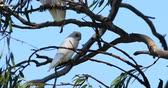 법안 : Long-billed Corella, Cacatua tenuirostris, relaxed 4K