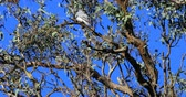 ausztrál : Masked Woodswallow, Artamus personatus, in tree 4K