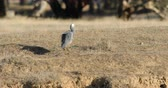 heron : White-faced Heron, Egretta novaehollandiae, walking 4K