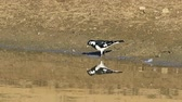 water wing : Australian Magpie-Lark, Grallina cyanoleuca, chasing insects