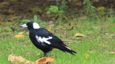 grond : Australian Magpie, Cracticus tibicen, close view on ground
