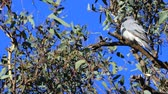 vleugel : Single Masked Woodswallow, Artamus personatus, in tree